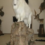 Colorado Springs Timberline Taxidermy