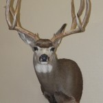 Deer Taxidermy, Colorado Springs